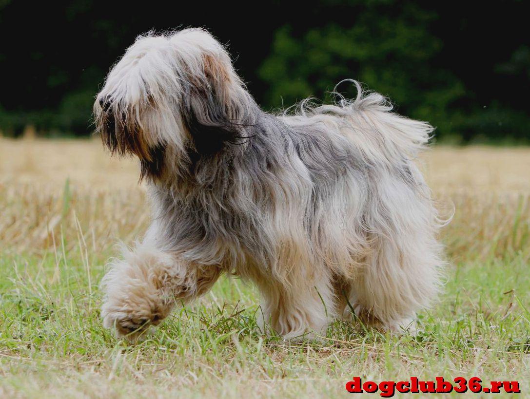 гипоаллергенные собаки