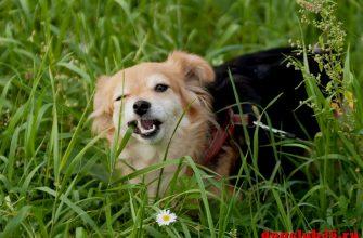 Почему собака ест траву во время прогулок