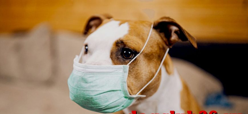 Может ли собака заразиться коронавирусом от хозяина
