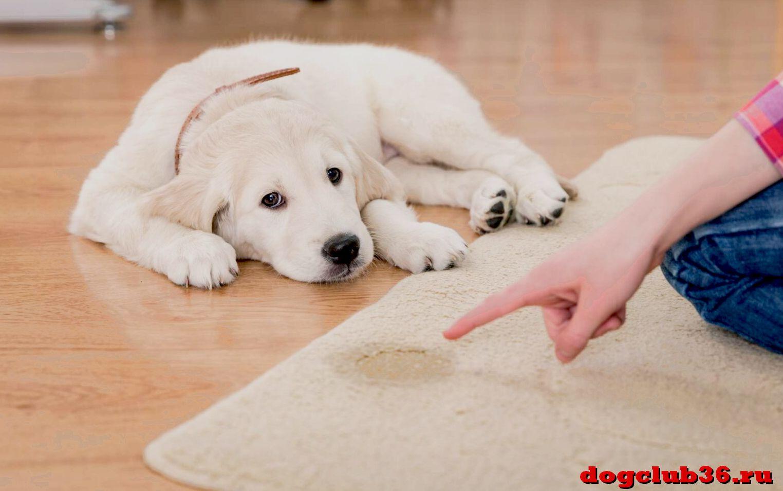 Почему собака начала метить в квартире