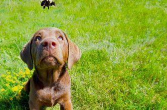 Собаку укусила пчела,что делать